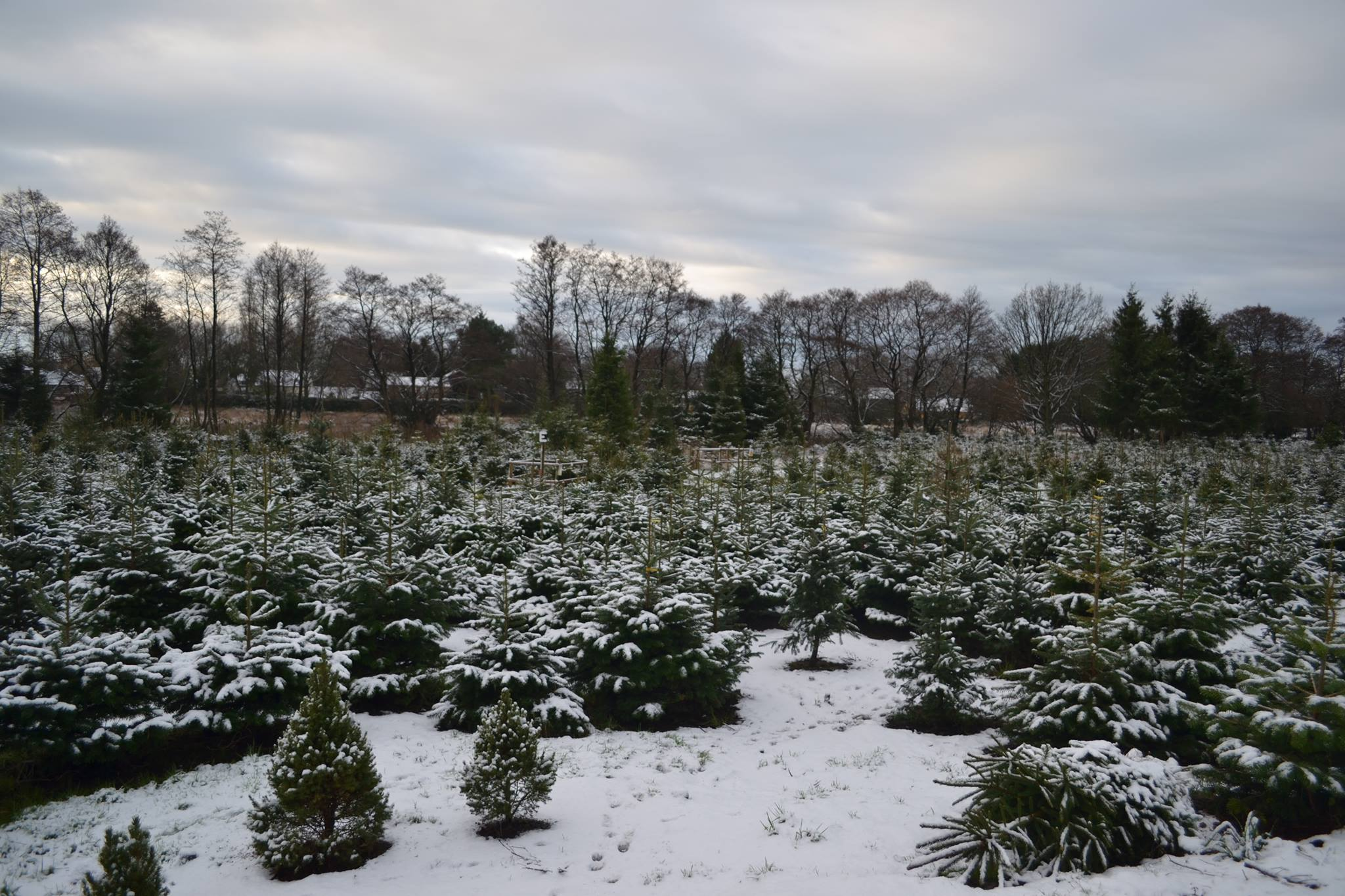 The Best Festive Christmas Tree Farms Near Manchester Manchester Wire